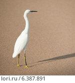 Купить «Egret on the beach, Sayulita, Nayarit, Mexico», фото № 6387891, снято 26 марта 2019 г. (c) Ingram Publishing / Фотобанк Лори