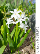 Белый гиацинт (лат. Hyacinthus) Стоковое фото, фотограф Елена Коромыслова / Фотобанк Лори