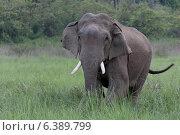 Купить «Asian elephant bull», фото № 6389799, снято 19 октября 2018 г. (c) Ingram Publishing / Фотобанк Лори