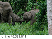 Купить «Pygmy elephant calves playing», фото № 6389811, снято 27 марта 2019 г. (c) Ingram Publishing / Фотобанк Лори