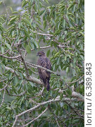Changeable hawk eagle. Стоковое фото, агентство Ingram Publishing / Фотобанк Лори