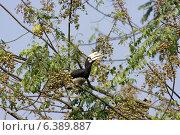 Oriental pied hornbill eating fruits. Стоковое фото, агентство Ingram Publishing / Фотобанк Лори