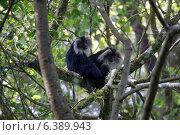 Купить «Lion-tail macaques grooming», фото № 6389943, снято 17 февраля 2019 г. (c) Ingram Publishing / Фотобанк Лори