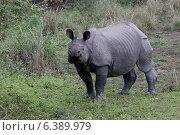 Купить «Indian rhino being curious», фото № 6389979, снято 22 января 2019 г. (c) Ingram Publishing / Фотобанк Лори