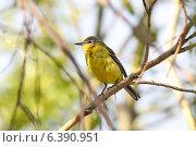 Купить «Желтая трясогузка Motacilla flava (Linnaeus, 1758) среди ветвей ивы», фото № 6390951, снято 15 июля 2014 г. (c) Григорий Писоцкий / Фотобанк Лори