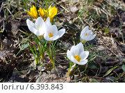 Купить «Крокусы (лат. Crocus)», эксклюзивное фото № 6393843, снято 17 апреля 2014 г. (c) Елена Коромыслова / Фотобанк Лори