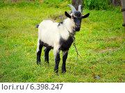 Козлик. Стоковое фото, фотограф Вика Бурмистрова / Фотобанк Лори