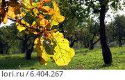 Желтые листья дуба. Стоковое видео, видеограф Евгений Егоров / Фотобанк Лори