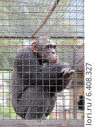 Грустная шимпанзе сидит за решеткой. Стоковое фото, фотограф Игорь Долгов / Фотобанк Лори