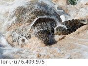 Купить «Sea turtle on the beach, Laniakea Beach, Haleiwa, North Shore, Oahu, Hawaii, USA», фото № 6409975, снято 7 февраля 2013 г. (c) Ingram Publishing / Фотобанк Лори