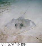 Купить «Caribbean Whiptail Stingray (Himantura schmardae) underwater, Utila, Bay Islands, Honduras», фото № 6410159, снято 30 декабря 2012 г. (c) Ingram Publishing / Фотобанк Лори