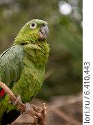 Купить «Closeup of a YellowNaped Parrot (Amazona auropalliata), Macaw Mountain Bird Park, Copan, Copan Ruinas, Copan Department, Honduras», фото № 6410443, снято 3 января 2013 г. (c) Ingram Publishing / Фотобанк Лори