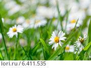 Белые ромашки. Стоковое фото, фотограф Светлана Витковская / Фотобанк Лори