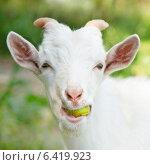 Купить «Белая козочка жует яблоко», фото № 6419923, снято 25 июля 2014 г. (c) E. O. / Фотобанк Лори