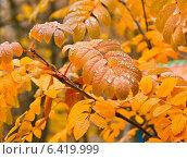 Купить «Пожелтевшие листья рябины в каплях дождя», фото № 6419999, снято 17 октября 2013 г. (c) Наталья Двухимённая / Фотобанк Лори
