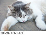 Спящая серо-белая кошка. Стоковое фото, фотограф E. O. / Фотобанк Лори