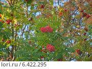 Купить «Красные ягоды рябины на  осенней ветке. Фокус по центру (лат. Sorbus aucuparia )», эксклюзивное фото № 6422295, снято 20 сентября 2014 г. (c) Svet / Фотобанк Лори