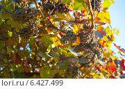 Купить «Лоза с гроздями темного винограда», фото № 6427499, снято 3 августа 2012 г. (c) Сурикова Ирина / Фотобанк Лори