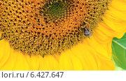 Купить «Шмель и подсолнух», видеоролик № 6427647, снято 20 августа 2014 г. (c) Юрий Пономарёв / Фотобанк Лори