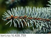 Купить «Хвоя голубой ели (лат. Picea pungens)», фото № 6438759, снято 21 января 2014 г. (c) Сергей Трофименко / Фотобанк Лори