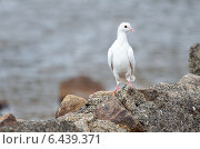 Купить «Белый голубь на камне на берегу озера», фото № 6439371, снято 13 сентября 2014 г. (c) Овчинникова Ирина / Фотобанк Лори