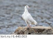 Купить «Белый голубь на камне на берегу озера», фото № 6440003, снято 13 сентября 2014 г. (c) Овчинникова Ирина / Фотобанк Лори