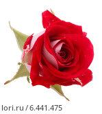 Купить «Red rose flower head isolated on white background cutout», фото № 6441475, снято 21 июня 2013 г. (c) Natalja Stotika / Фотобанк Лори