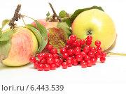 Купить «Ягоды красной калины и яблоки на белом фоне», эксклюзивное фото № 6443539, снято 22 сентября 2014 г. (c) Яна Королёва / Фотобанк Лори