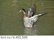 Купить «Селезень на воде машет крыльями», эксклюзивное фото № 6455599, снято 27 сентября 2014 г. (c) lana1501 / Фотобанк Лори