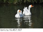 Купить «Белые домашние гуси (лат. Anser caerulescens)», эксклюзивное фото № 6457107, снято 27 сентября 2014 г. (c) lana1501 / Фотобанк Лори