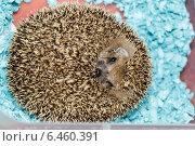 Купить «Еж ушастый», фото № 6460391, снято 27 сентября 2014 г. (c) Василий Вишневский / Фотобанк Лори