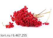 Купить «Ягоды калины красной на белом фоне», фото № 6467255, снято 28 сентября 2014 г. (c) V.Ivantsov / Фотобанк Лори
