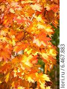 Оранжевые кленовые листья на ветках. Стоковое фото, фотограф Oleksii Pyltsyn / Фотобанк Лори