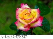 Купить «Роза чайно-гибридная Ориент Экспресс, Love and Peace (Восточный Экспресс) (лат. Orient Express)», фото № 6470727, снято 16 июня 2013 г. (c) Ольга Сейфутдинова / Фотобанк Лори