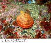 Исландский гребешок, Баренцево море. Стоковое фото, фотограф Александр Огурцов / Фотобанк Лори