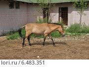 Лошадь Пржевальского (лат. Equus przewalskii) (2014 год). Стоковое фото, фотограф lana1501 / Фотобанк Лори