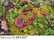 Купить «Клюква растет на болоте», фото № 6489807, снято 5 октября 2014 г. (c) Наталья Осипова / Фотобанк Лори
