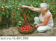Купить «Женщина работает в огороде, собирает помидоры», фото № 6491999, снято 6 августа 2010 г. (c) Александр Романов / Фотобанк Лори