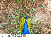 Male Indian Peafowl. Стоковое фото, фотограф Яков Филимонов / Фотобанк Лори