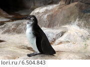 Пингвин. Стоковое фото, фотограф Чулпан Нигметзянова / Фотобанк Лори