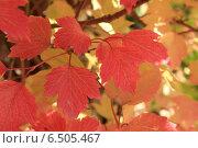 Купить «Краски осени. Красные листья калины на фоне желтых», фото № 6505467, снято 21 сентября 2014 г. (c) Светлана Ильева (Иванова) / Фотобанк Лори