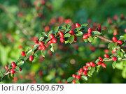 Купить «Барбарис обыкновенный (лат. Berberis vulgaris L.)», эксклюзивное фото № 6509679, снято 7 сентября 2014 г. (c) Svet / Фотобанк Лори