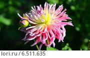 Купить «Розовый цветок», видеоролик № 6511635, снято 10 октября 2014 г. (c) Сергей Куров / Фотобанк Лори