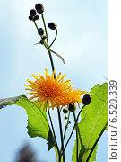 Купить «Осот полевой (Sоnchus arvеnsis)», эксклюзивное фото № 6520339, снято 13 августа 2014 г. (c) Евгений Мухортов / Фотобанк Лори
