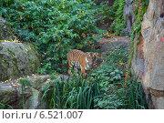 Тигр в зоопарке (2014 год). Стоковое фото, фотограф Анастасия Улитко / Фотобанк Лори