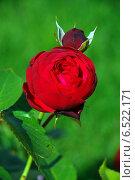Пионовидная роза красная (лат. Rоsa) Стоковое фото, фотограф lana1501 / Фотобанк Лори