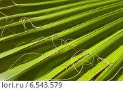Купить «Природный фон веерного листа пальмы сабаль (лат. Sabal)», фото № 6543579, снято 26 сентября 2014 г. (c) Виктория Катьянова / Фотобанк Лори