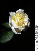 Роза с каплями воды. Стоковое фото, фотограф Раушания Аппакова / Фотобанк Лори