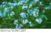 Купить «Голубые незабудки», видеоролик № 6567207, снято 6 августа 2014 г. (c) pzAxe / Фотобанк Лори