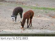 Детеныши ламы (2014 год). Стоковое фото, фотограф Анастасия Улитко / Фотобанк Лори